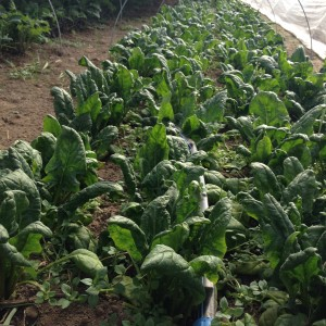 Heart Beets Farm Spinach