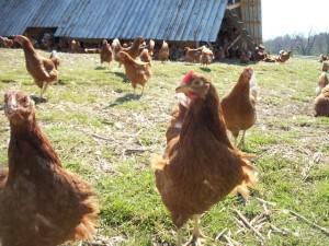 copicut chickens