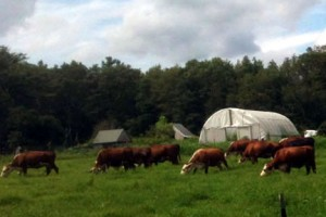 Cows at Dufort Farms