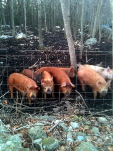 Dufort Farms Pigs