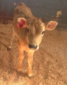 Calf at Bristol Aggie