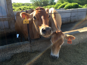 Pine Hill Dairy Cows