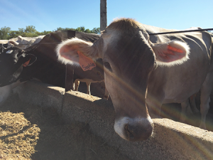 Cows at Pine Hill Dairy