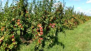 Plum Trees