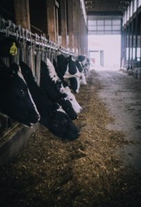 Cows feeding in barn